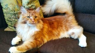 Мейн кун Степа и кот Тихон. Дома все хорошо и котам хорошо.