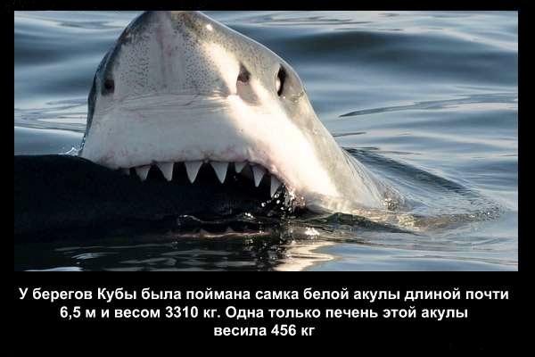 валтея - Интересные факты о акулах / Хищники морей.(Видео. Фото) 5sRmMT-Esic