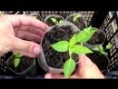 Зеленая планета Выращивание перца от А до Я Рассада перца Выращивание перца в открытом грунте